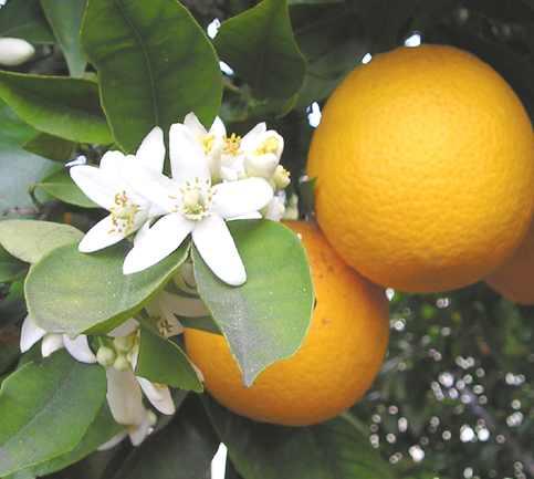 Citrus aurantium thuộc họ cam giúp ngăn chặn sự thèm ăn