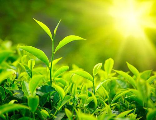 Theanine trong lá trà xanh làm thư giãn, chống căng thẳng