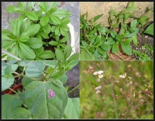 Thành phần chiết xuất từ Boerhaavia diffusa làm lợi tiểu và tác dụng kháng viêm