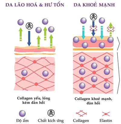 Cấu trúc lão hóa và da khỏe mạnh