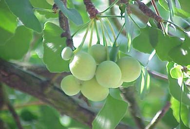 Ginkgo Biloba thành phần chính của Nature Made Ginkgo Biloba 30 mg