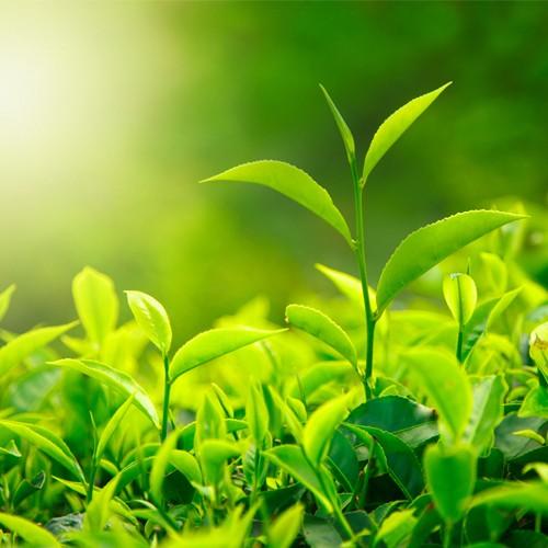 Suntheanine L-Theanine là hoạt chất thiên nhiên được tìm thấy trong trà