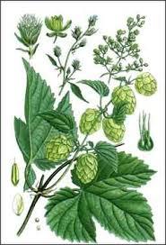 Tác dụng nổi bật của natures way hops flowers