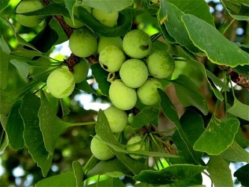 Bộ 3 sản phẩm trunature ginkgo biloba cải thiện tình hình trí nhớ người già