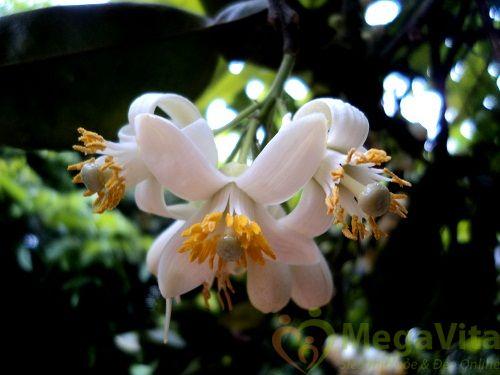 cach lam tinh dau hoa buoi tai nha