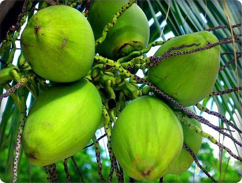 Mang thai tháng thứ 8 có nên uống nước dừa không?
