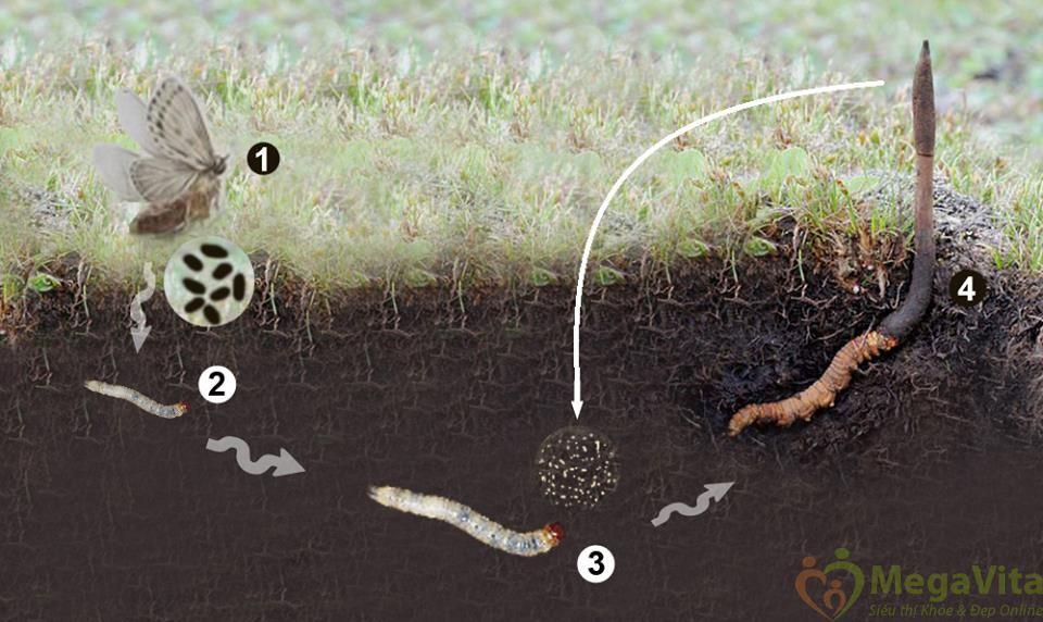 Đông trùng hạ thảo tvt sấy nhiệt dạng bột lọ thủy tinh 120g
