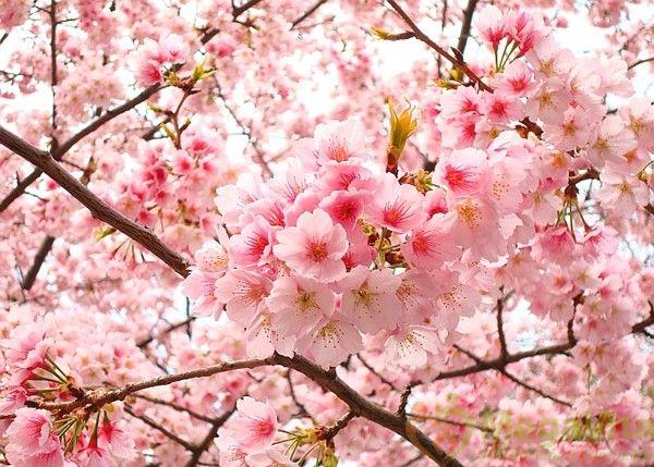 Sữa dưỡng thể hoa anh đào on the body cherry blossom có tốt không?